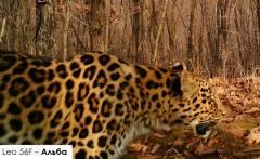Школьник из Подмосковья дал имя приморскому леопарду