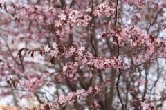 Во Владивостоке вовсю цветет сакура