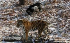 Дмитрий Мезенцев: У нас нет услуги кормить тигров животными на потеху публике