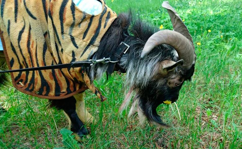 Козла Тимура из Приморского сафари-парка вылечили в Москве