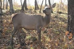 Приморец пойдет под суд за отстрел благородного оленя