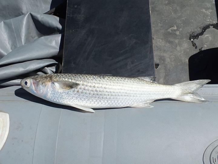В Приморье рыба массово выбросилась на берег