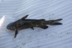 В Приморье продавали рыбу, зараженную паразитами