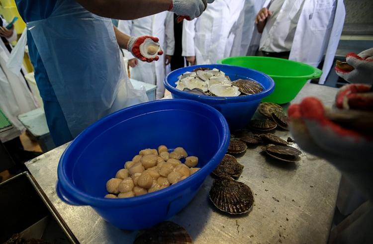 На предприятиях Приморья выращено около 2500 тонн гребешка