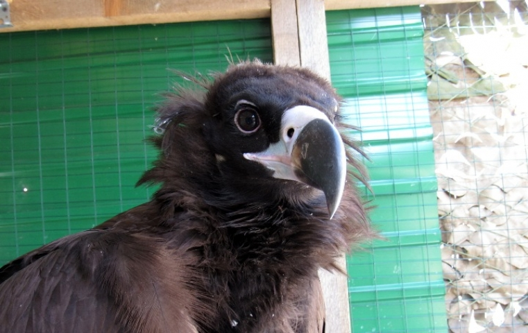 В Приморье спасли раненого черного грифа