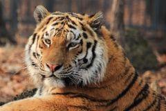 В приморских лесах ловят тигра-рецидивиста
