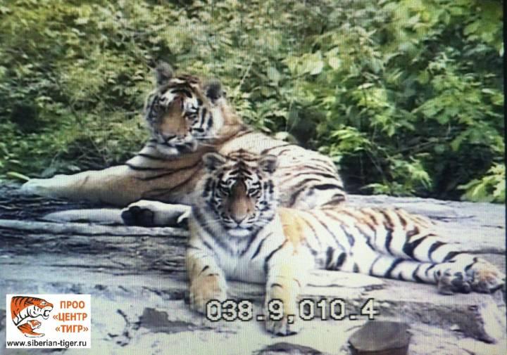 Спасенных в Приморье тигрят учат охотиться