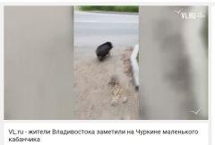 Кабана, гуляющего по Владивостоку, сняли на видео