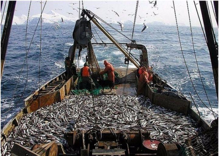 Приморцы выловили более 270 тысяч тонн минтая