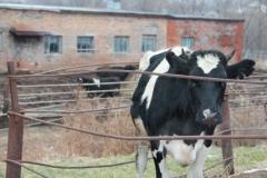 Коровы открыли пляжный сезон в Приморье