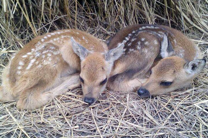 В зоопарке во Владивостоке косуля родила двойняшек