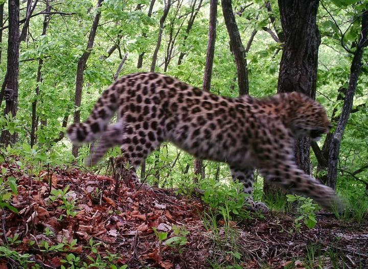 В Приморье пройдет забег «в темпе дикой кошки»