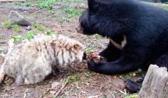 В Приморском сафари-парке подружились медведи и енотовидная собака