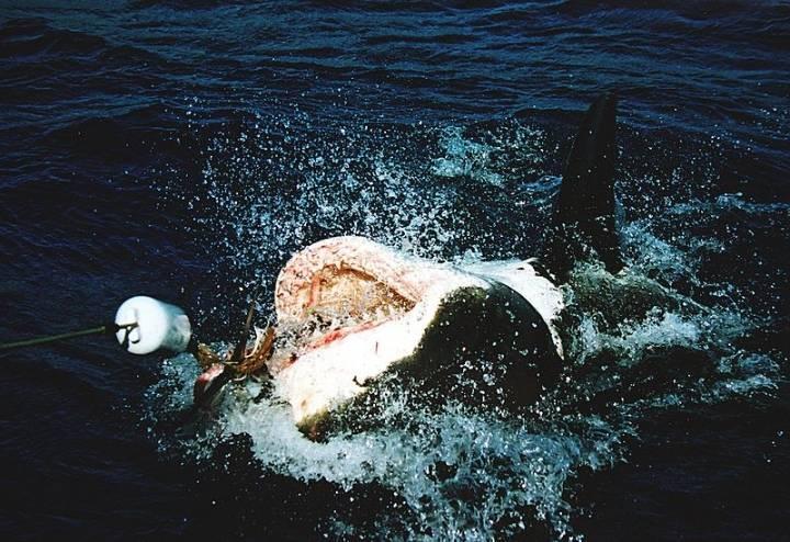 Очевидцы сообщают о появлении «акулы-людоеда» в популярной бухте Приморья