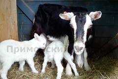 Одна из невест козла Тимура родила двойню