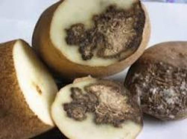 Жители Приморья едва не отравились зараженным картофелем