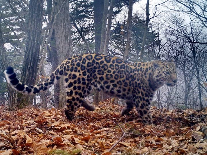 Раненный зимой леопард Реноша пошел на поправку