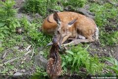 Трое косулят родились в Приморском сафари-парке