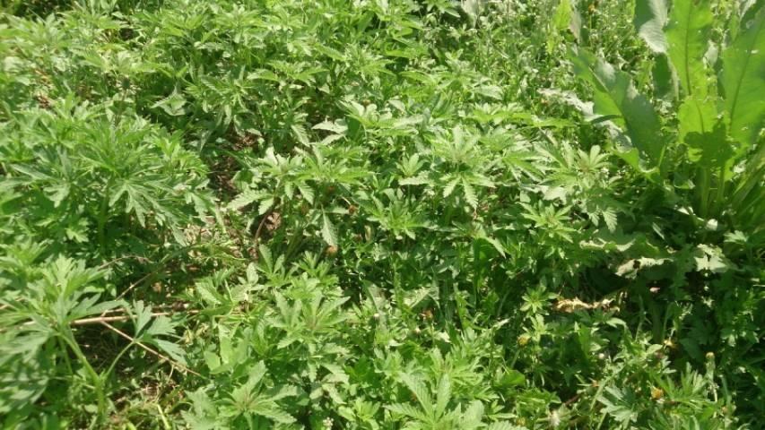Очаг произрастания маньчжурской конопли уничтожен в Приморье