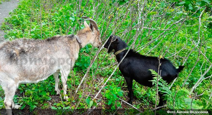 В Приморском сафари-парке встретились козел Обама и коза Меркель