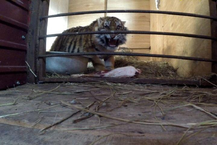 Тигрица Филиппа подросла и учится самостоятельно охотиться