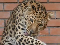 Пострадавший от рук браконьеров дальневосточный леопард даст потомство