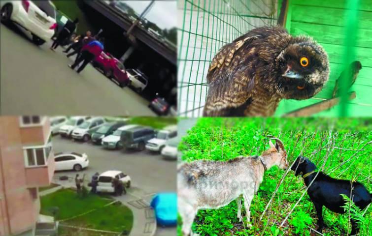 Видео недели: танцующая сова, козел Обама и перенос машины на парковке