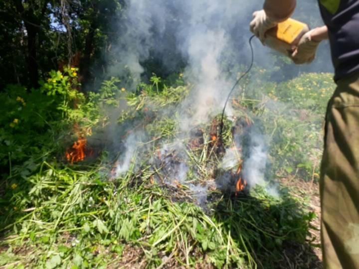 В Приморье уничтожили 20 тысяч кустов конопли