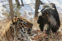 Историю дружбы тигра Амура и козла Тимура назвали фейком