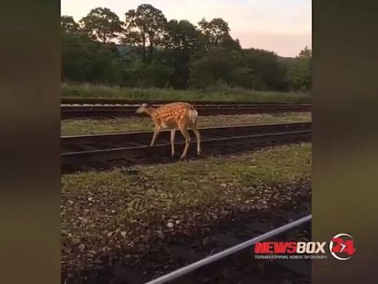В Приморье железнодорожники встретили оленя