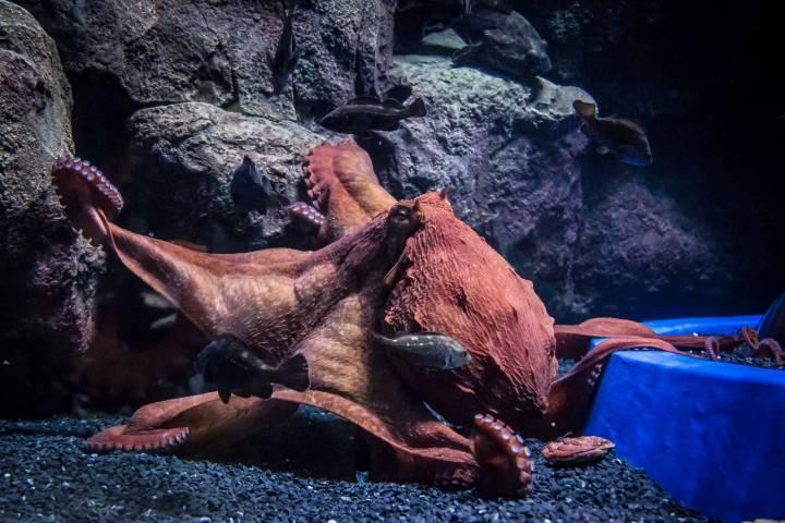 Прославившийся своим побегом осьминог переведен в основное здание Приморского океанариума