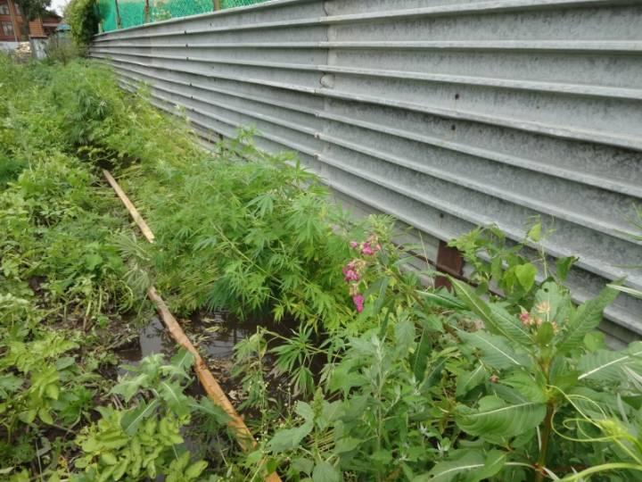 Житель Владивостока вырастил на своем огороде 400 кустов конопли