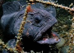 Рыбак подарил Приморскому океанариуму морского дьявола