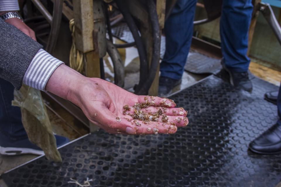 Почти 600 миллионов молоди гребешка высадили в Приморье
