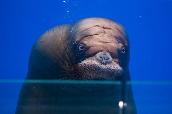 Морж Миша нырнул в пустой бассейн в Приморском океанариуме