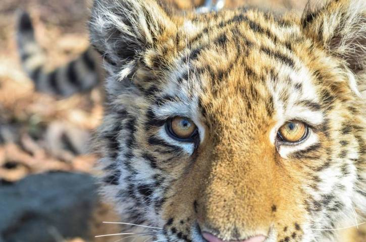 Жители Приморья сняли на видео тигра на популярном пляже