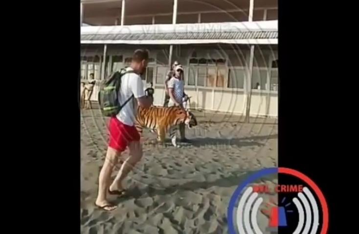 Мужчина, выгуливающий тигра на пляже в Приморье, привлечен к ответственности