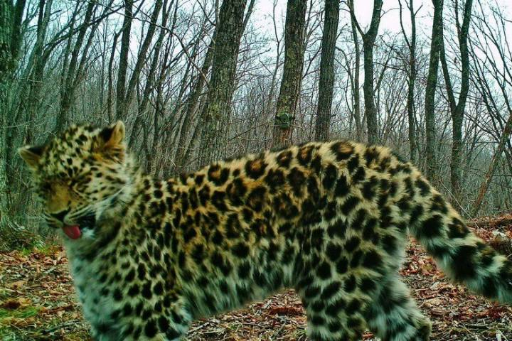 «Земля леопарда» опубликовала фото недовольной леопардессы