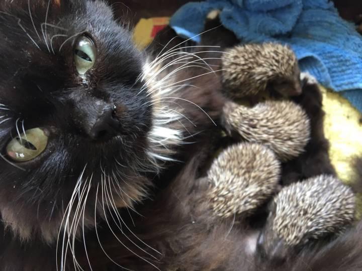 В зоопарке «Садгород» кошка выкармливает восьмерых ежат
