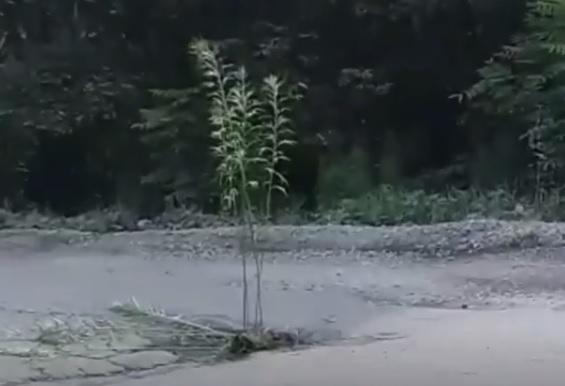 В Приморье на дороге «вырос» куст полыни