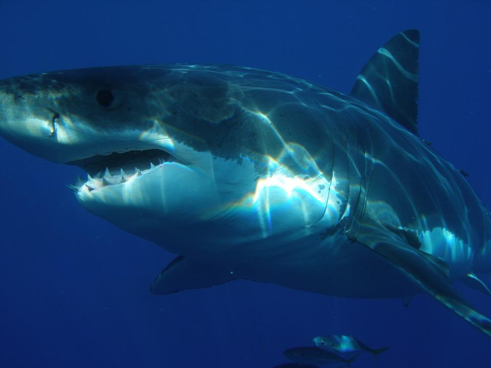 Крупная акула подплыла слишком близко к Владивостоку