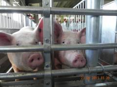 Приморский мясной рынок планирует избавиться от импортной свинины
