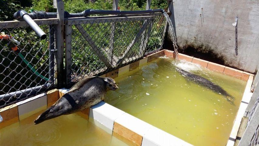 В Приморье выпустят на свободу двух тюленей