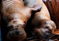 Две моржихи в Приморском океанариуме скончались после операции