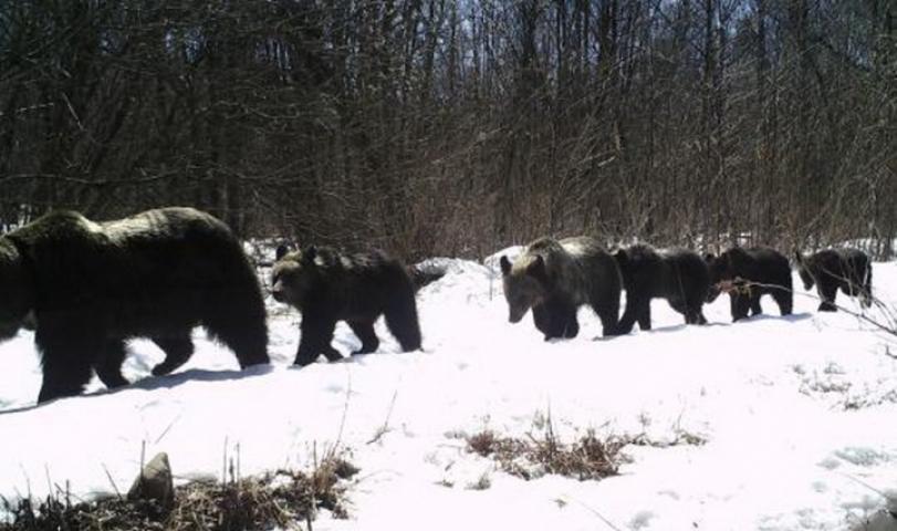 Медведицу с пятью медвежатами обнаружили в Приморье на территории нацпарка