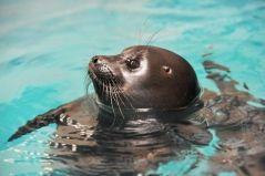 Байкальская нерпа Боча умерла в Приморском океанариуме
