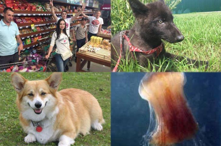 Видео недели: «Хрюши против», волчонок и корги Шуваловых