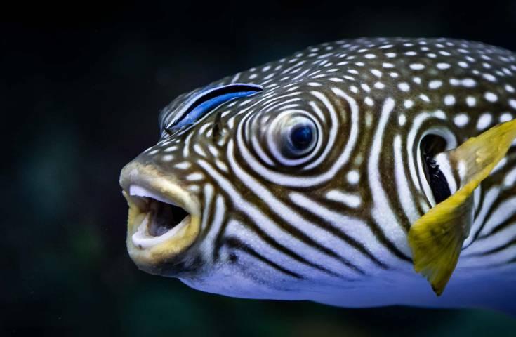 В Приморском океанариуме «работают» рыбы-доктора
