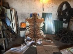 За незаконную добычу амурского тигра трое приморцев пойдут под суд
