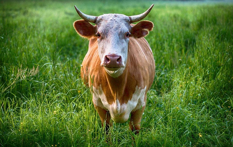 Во Владивостоке в результате ДТП погибла корова